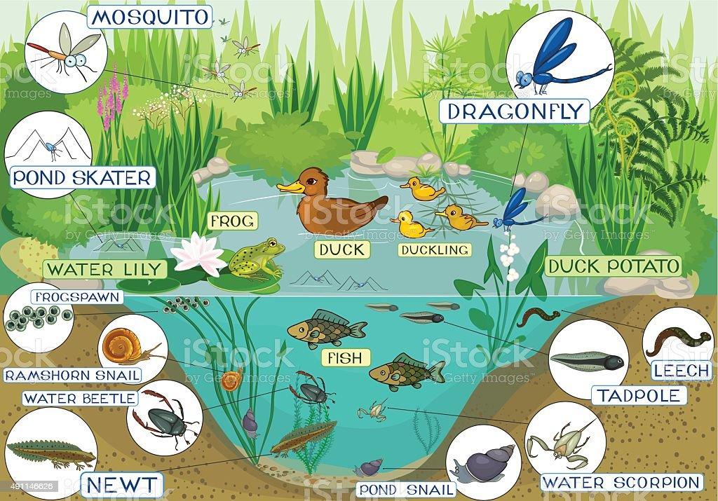 ecosystem of pond vector art illustration