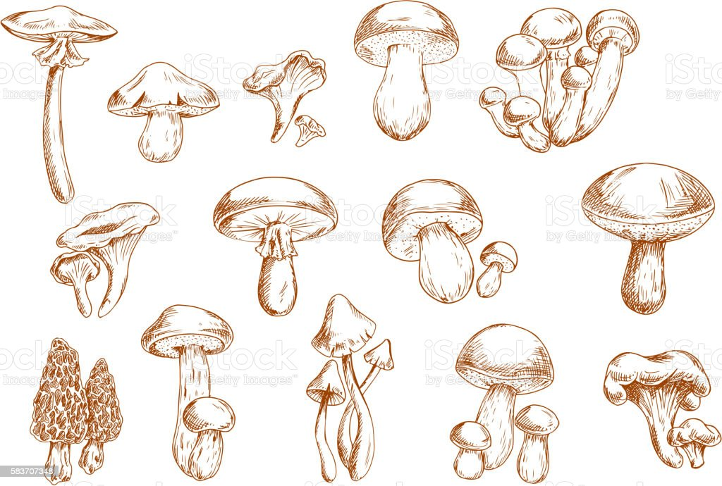 Edible mushrooms sketches for food design vector art illustration