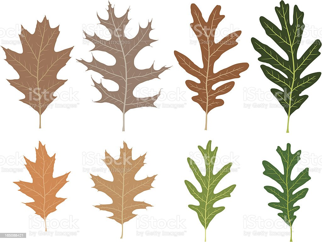 Eight Unique Oak Leaves royalty-free stock vector art