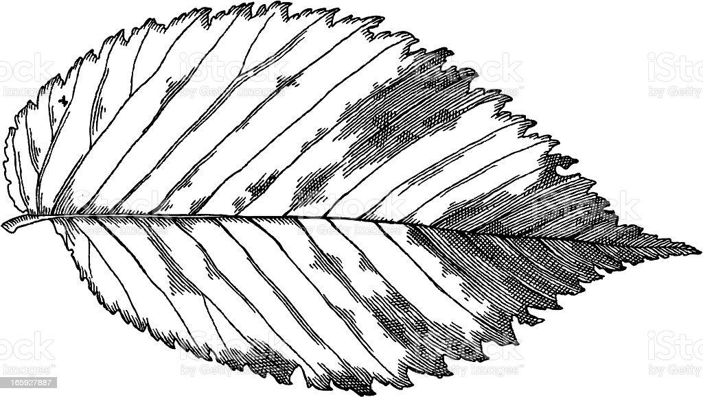 Elm Leaf vector art illustration
