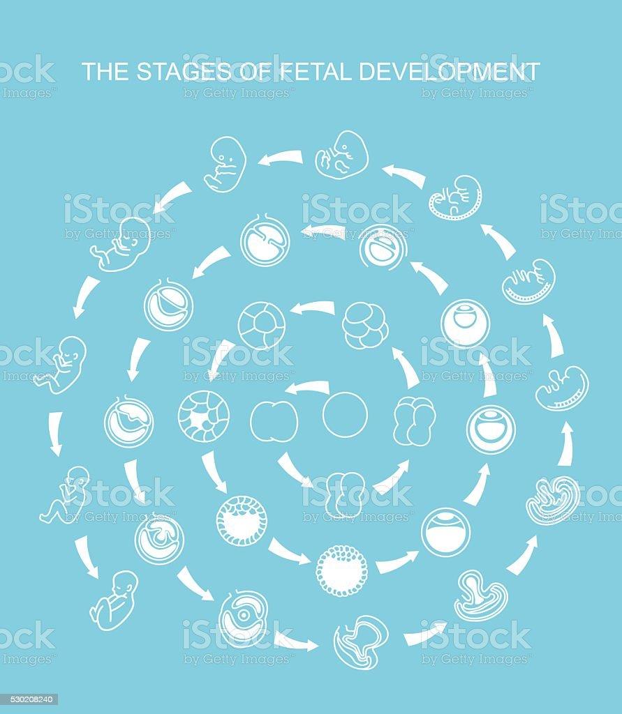 Embryo development. vector art illustration