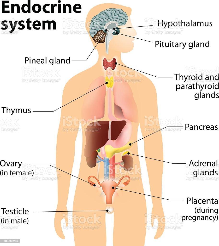 endocrine system vector art illustration