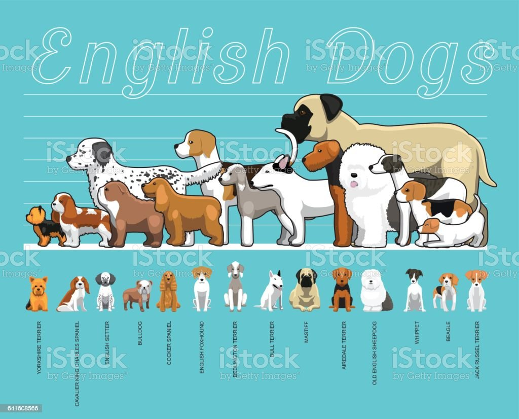 English Dogs Size Comparison Set Cartoon Vector Illustration vector art illustration