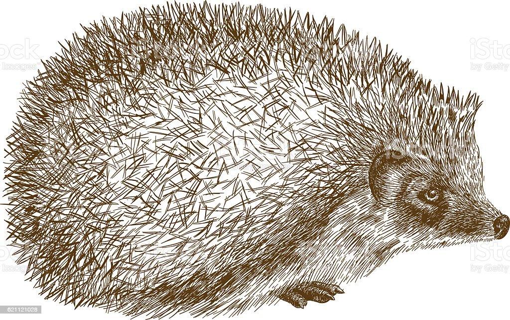 engraving antique illustration of hedgehog vector art illustration