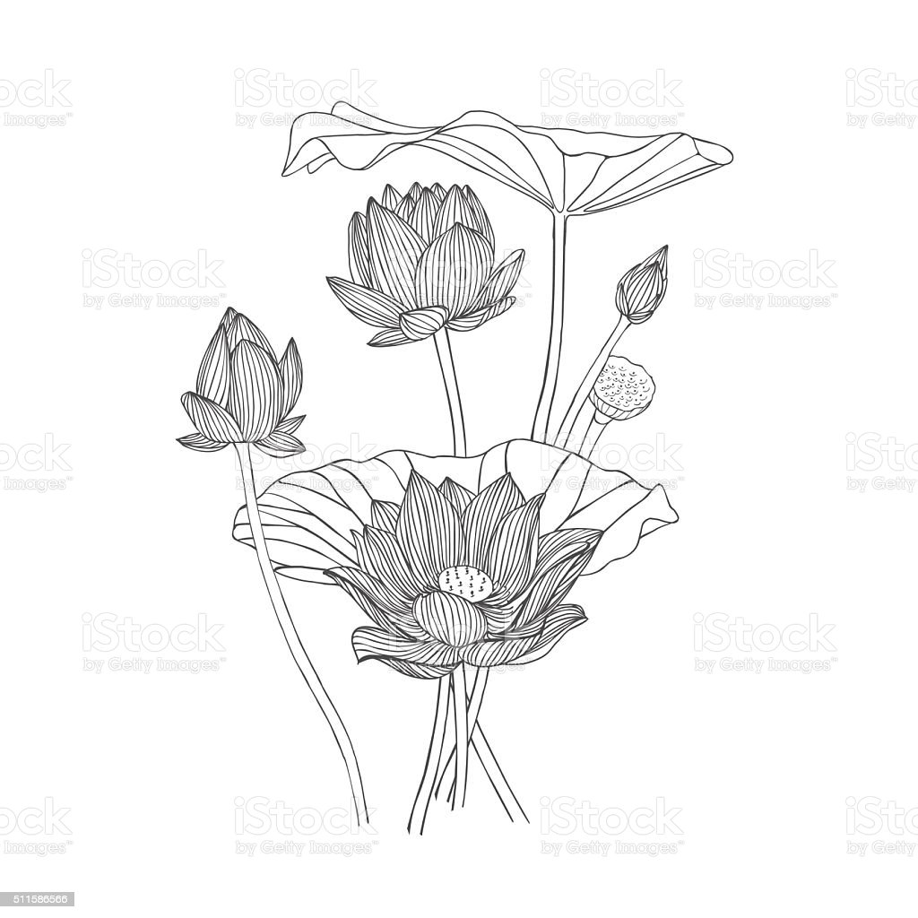 Lotus Flower Line Drawing Vector Free Download : Engraving hand drawn illustration of flower lotus stock
