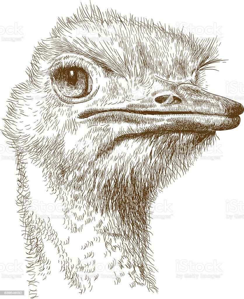 engraving illustration of ostrich head vector art illustration