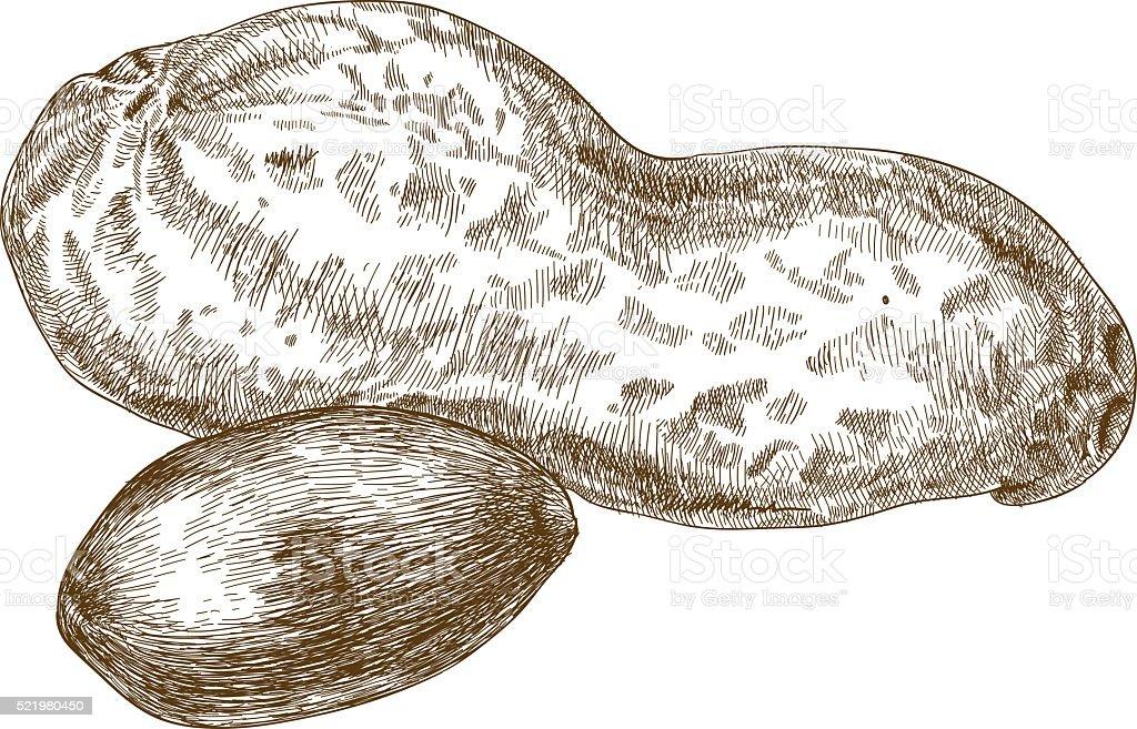 engraving illustration of peanuts pod vector art illustration