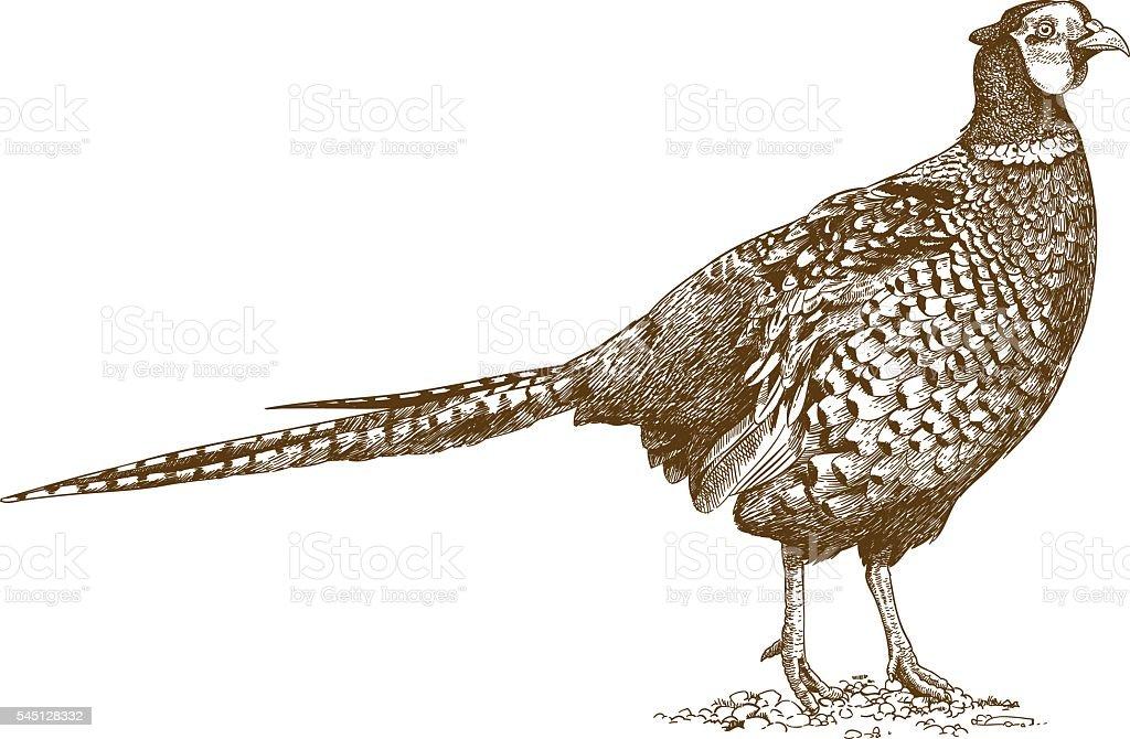 engraving illustration of pheasant vector art illustration