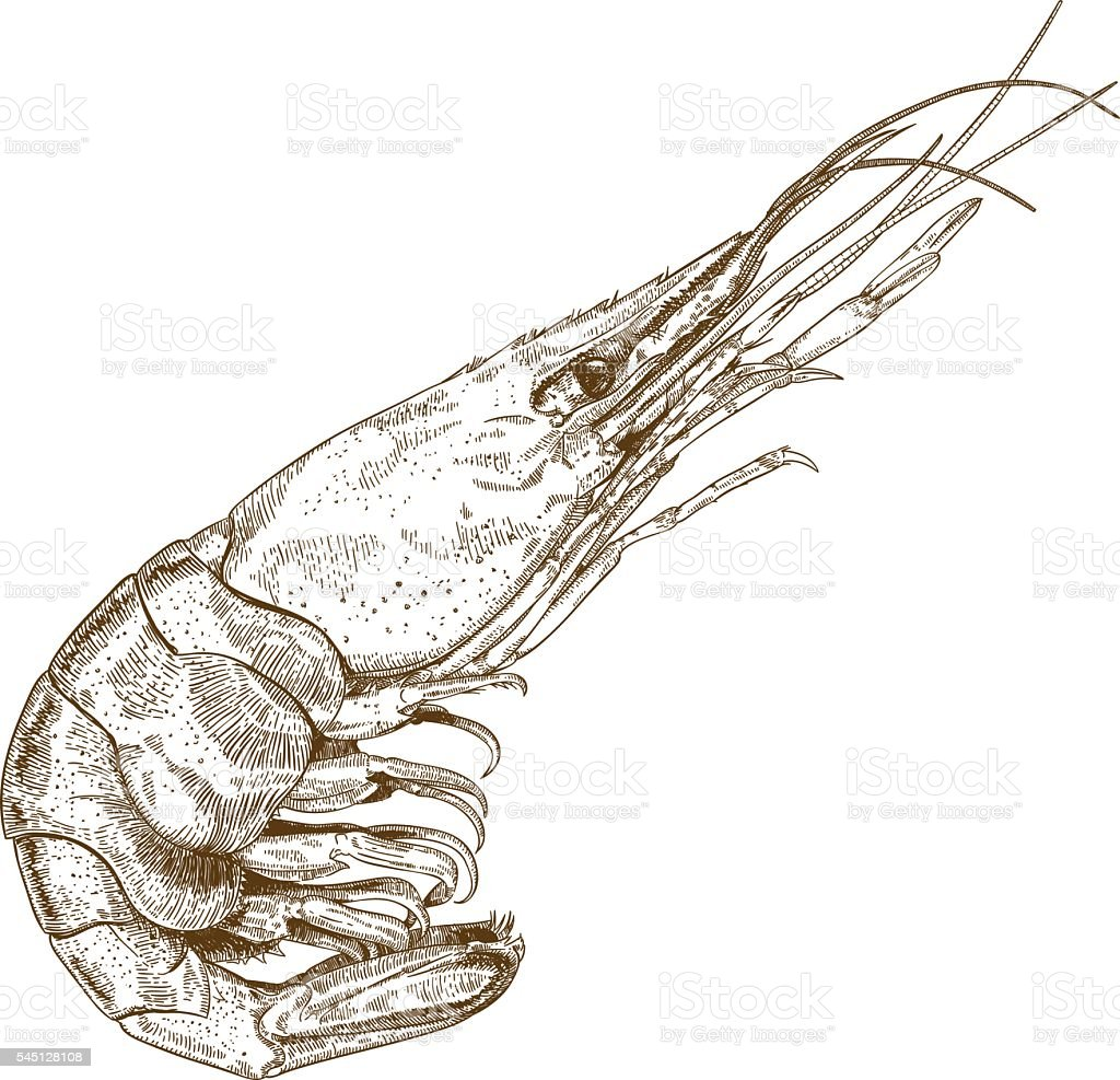 engraving illustration of shrimp vector art illustration