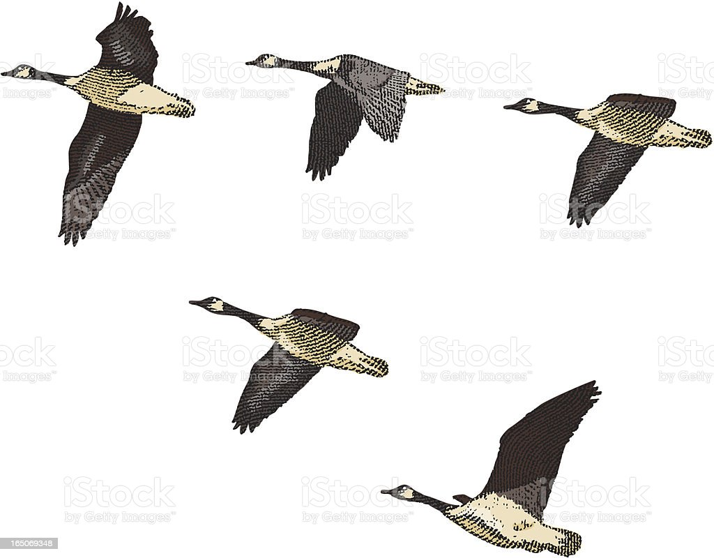 Engraving of Canada Geese vector art illustration