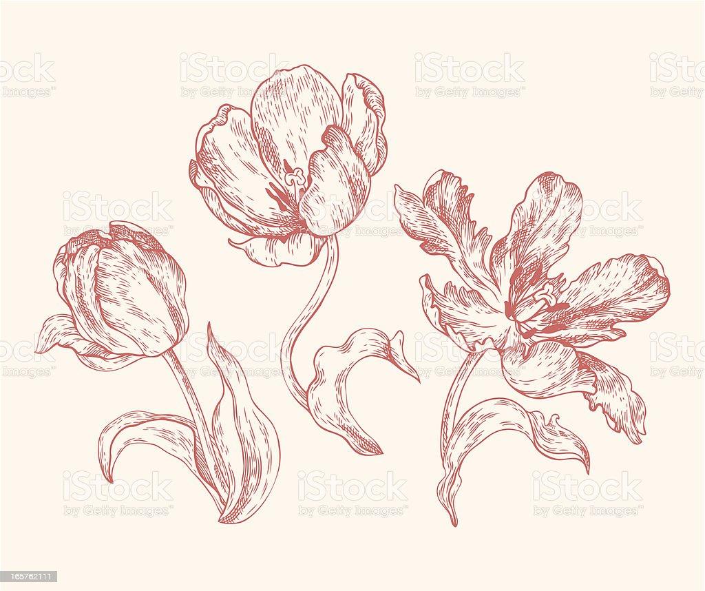 Engravings Tulips vector art illustration