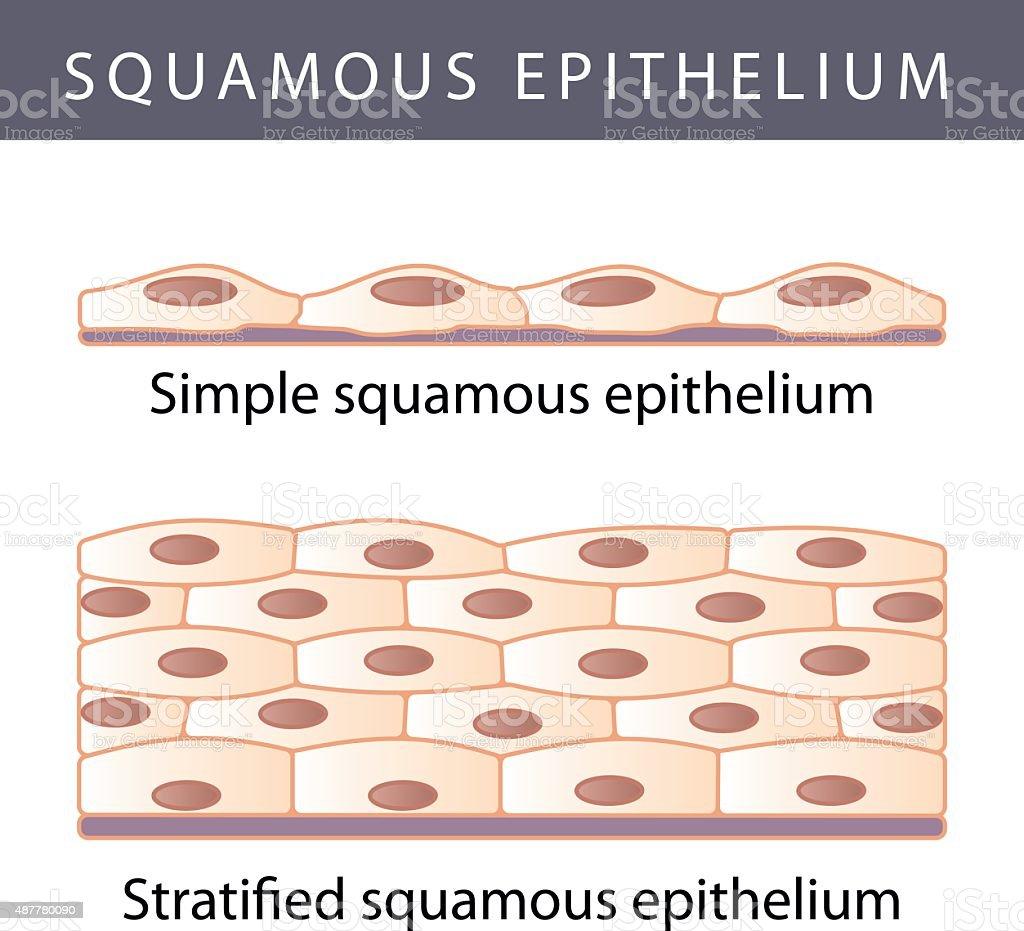 Epithelium vector art illustration