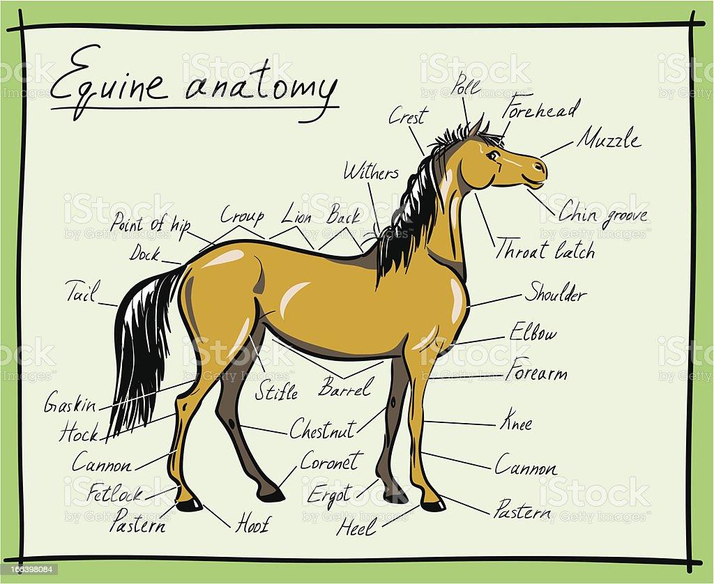 Equine anatomy royalty-free stock vector art