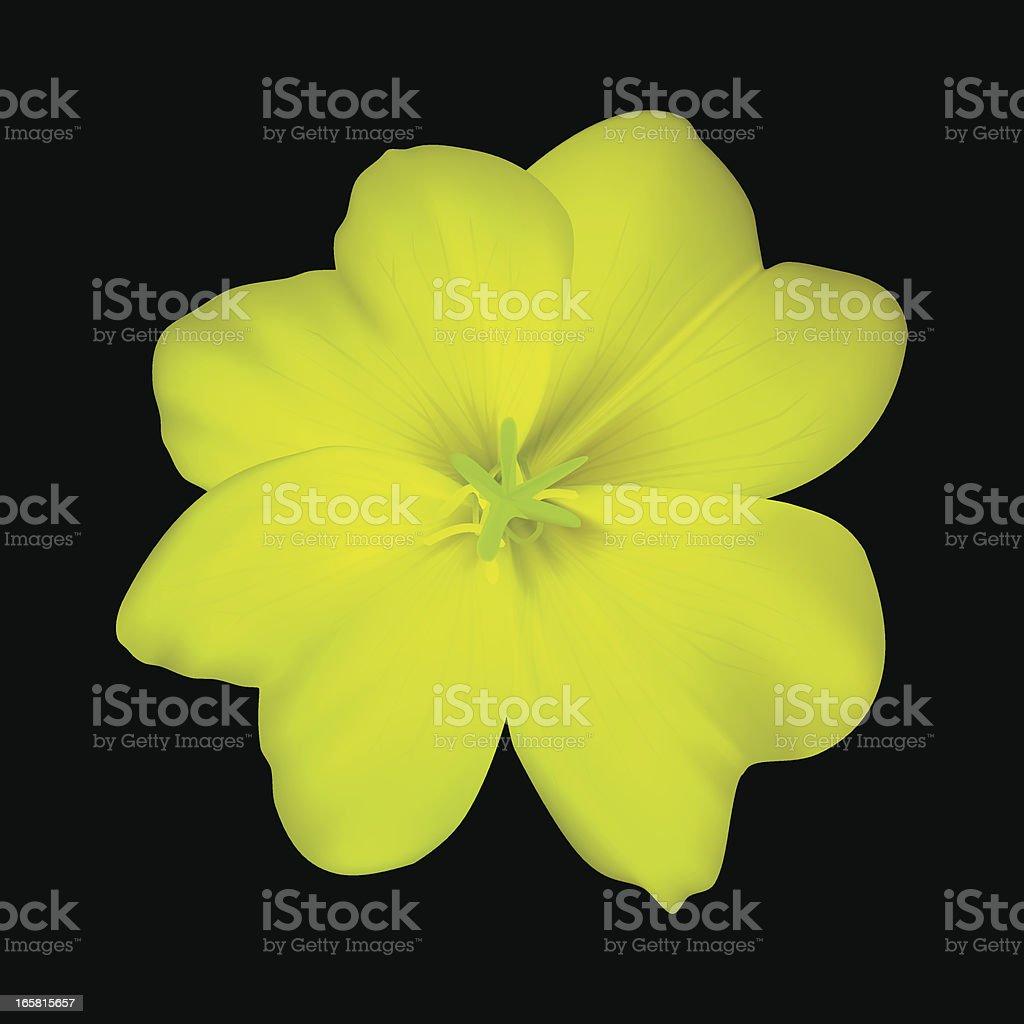 Evening primrose - Vector Illustration vector art illustration