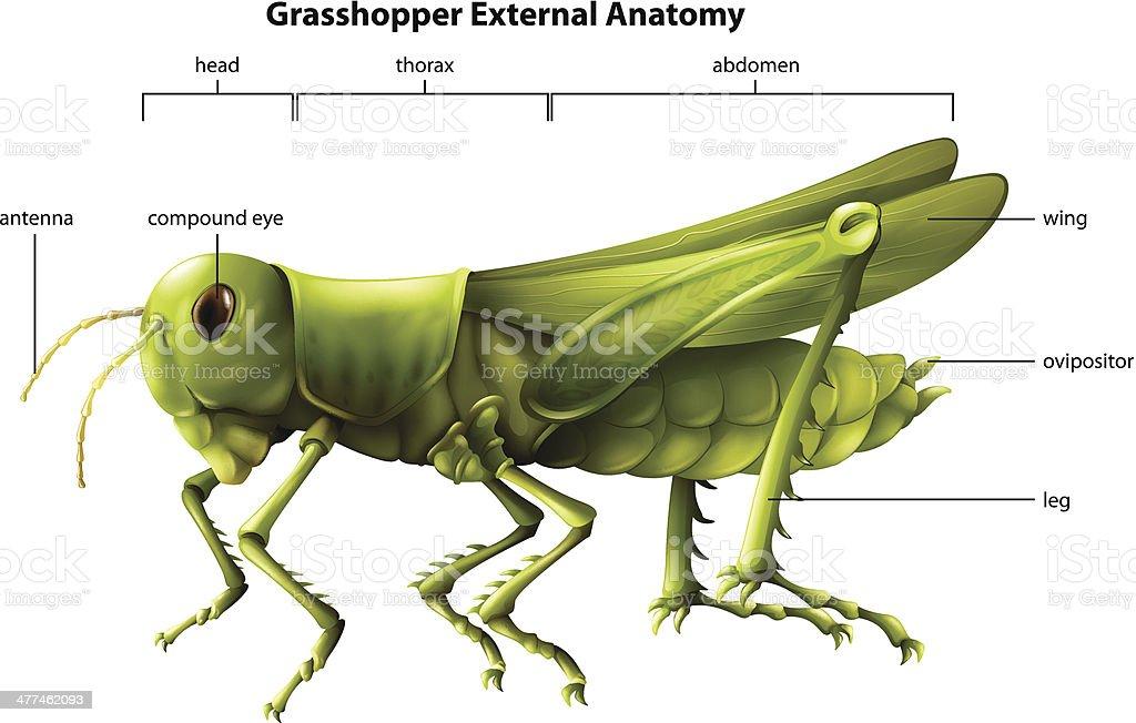 External anatomy of a grasshopper royalty-free stock vector art