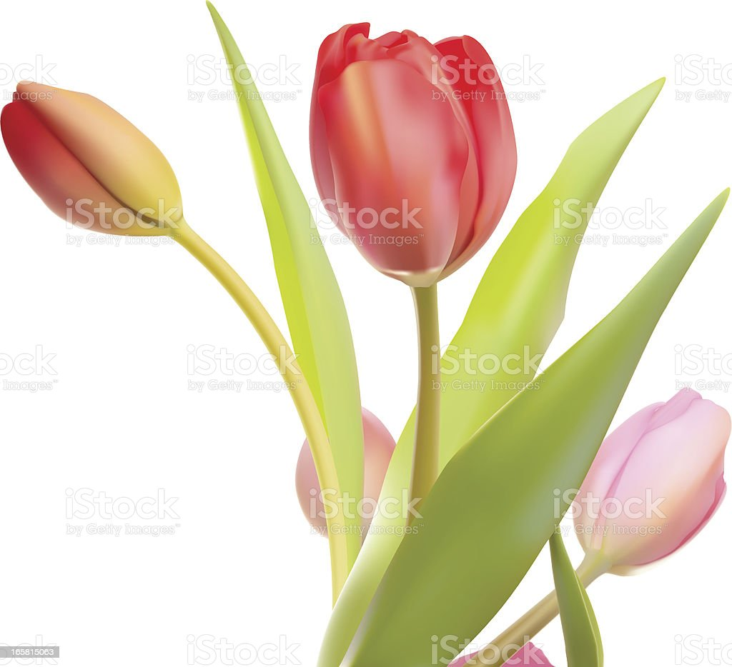Extremely Realistic Isolated Red And Pink Tulips in Vector Format vector art illustration