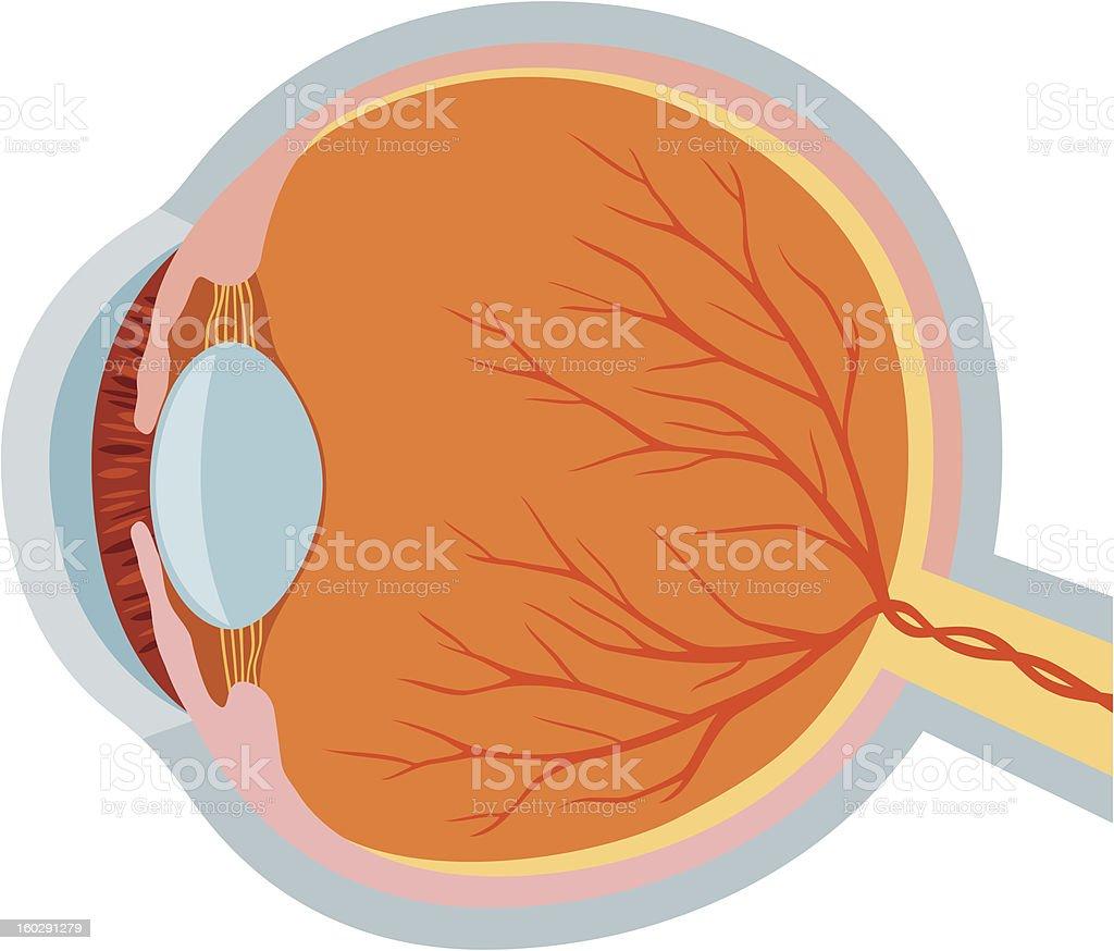 eye anatomy vector illustration stock photo