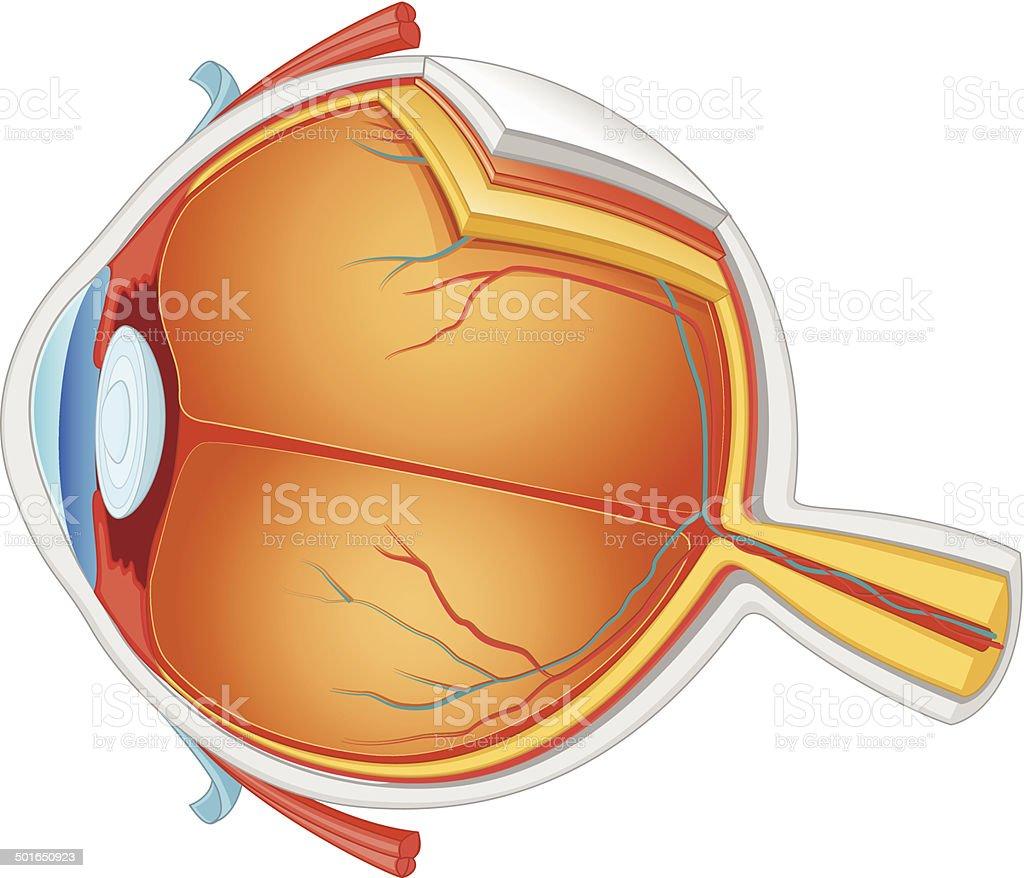 Eye Anatomy Vector Illustration vector art illustration