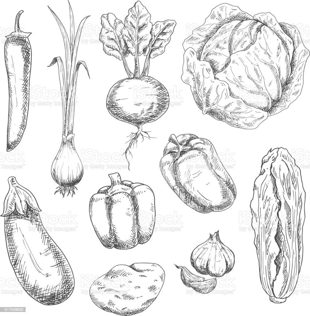 Farm vegetables sketches for recipe book vector art illustration