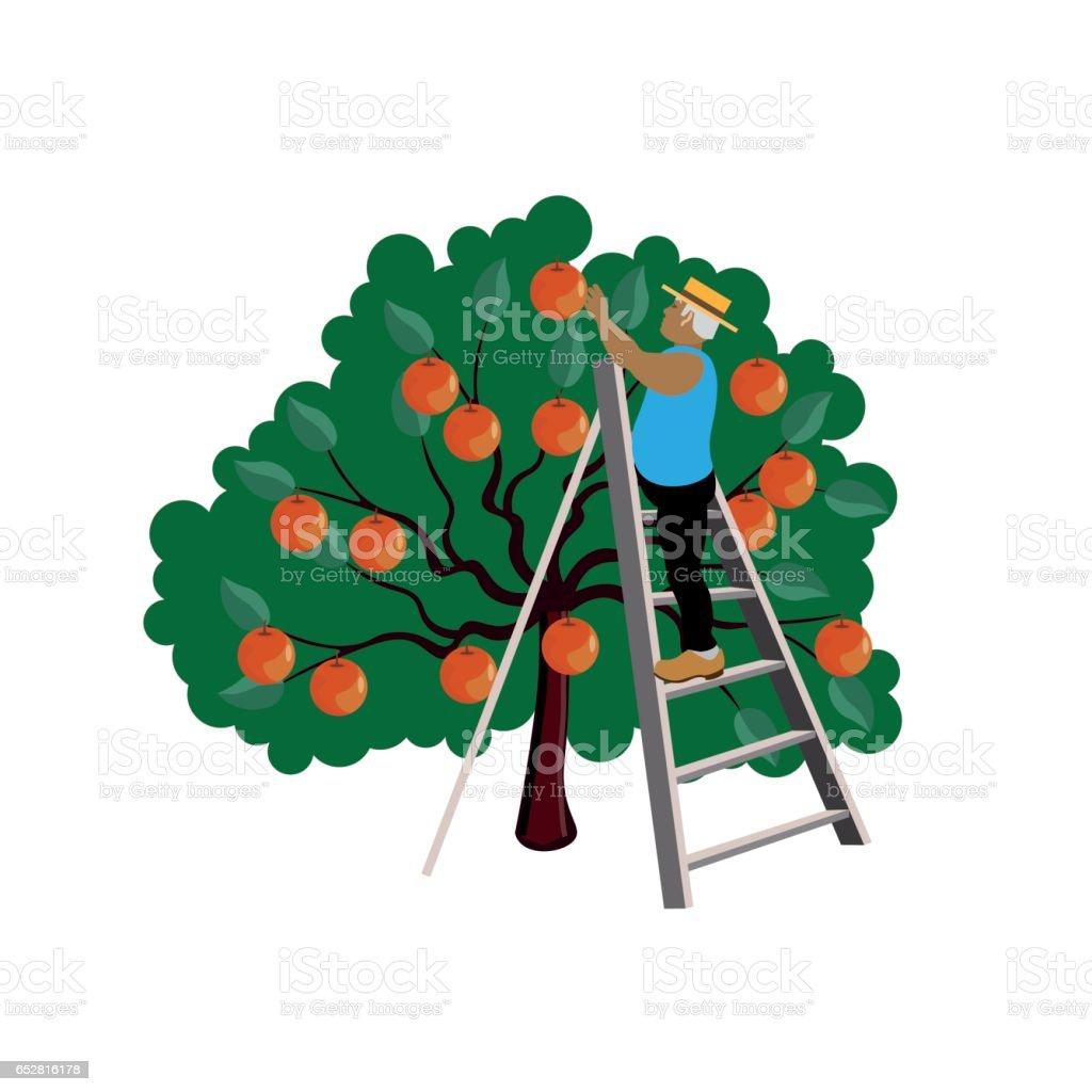 Farmer gathering apple vector art illustration