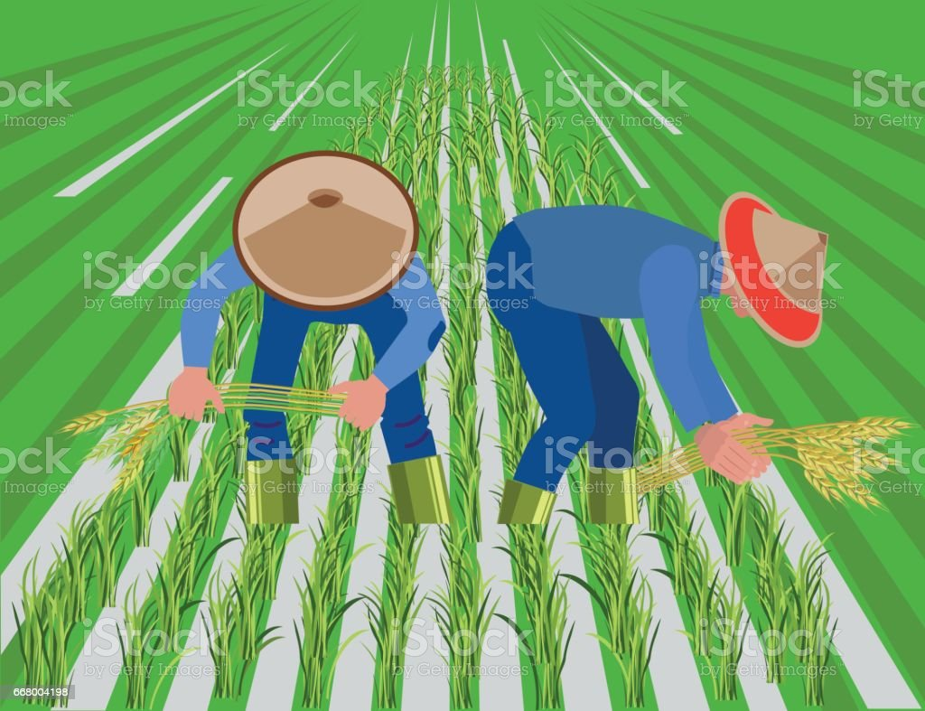 Farmers harvest rice in paddy field vector art illustration