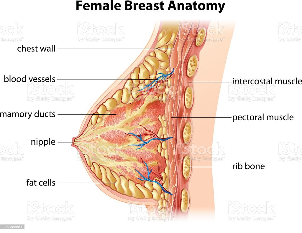 Female Breast Anatomy vector art illustration