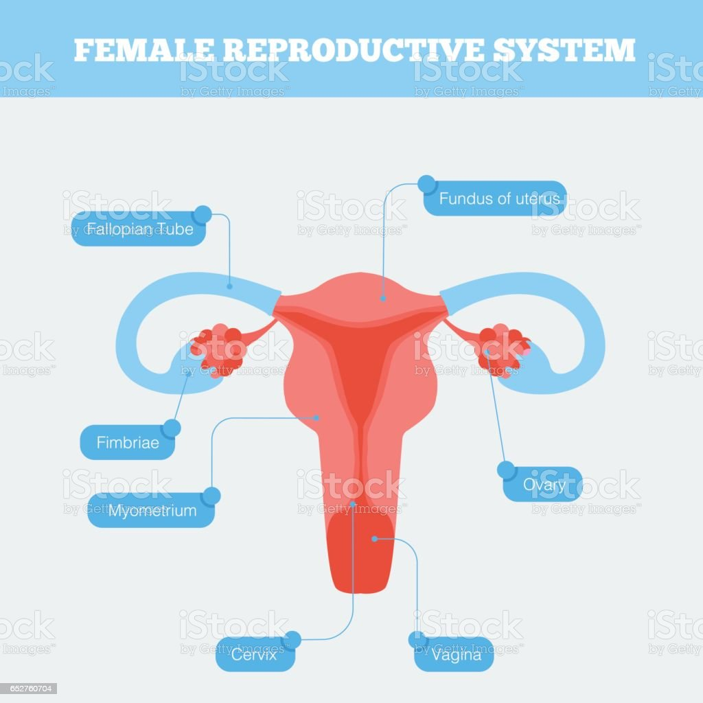 Female reproductive system flat info graphic. vector art illustration
