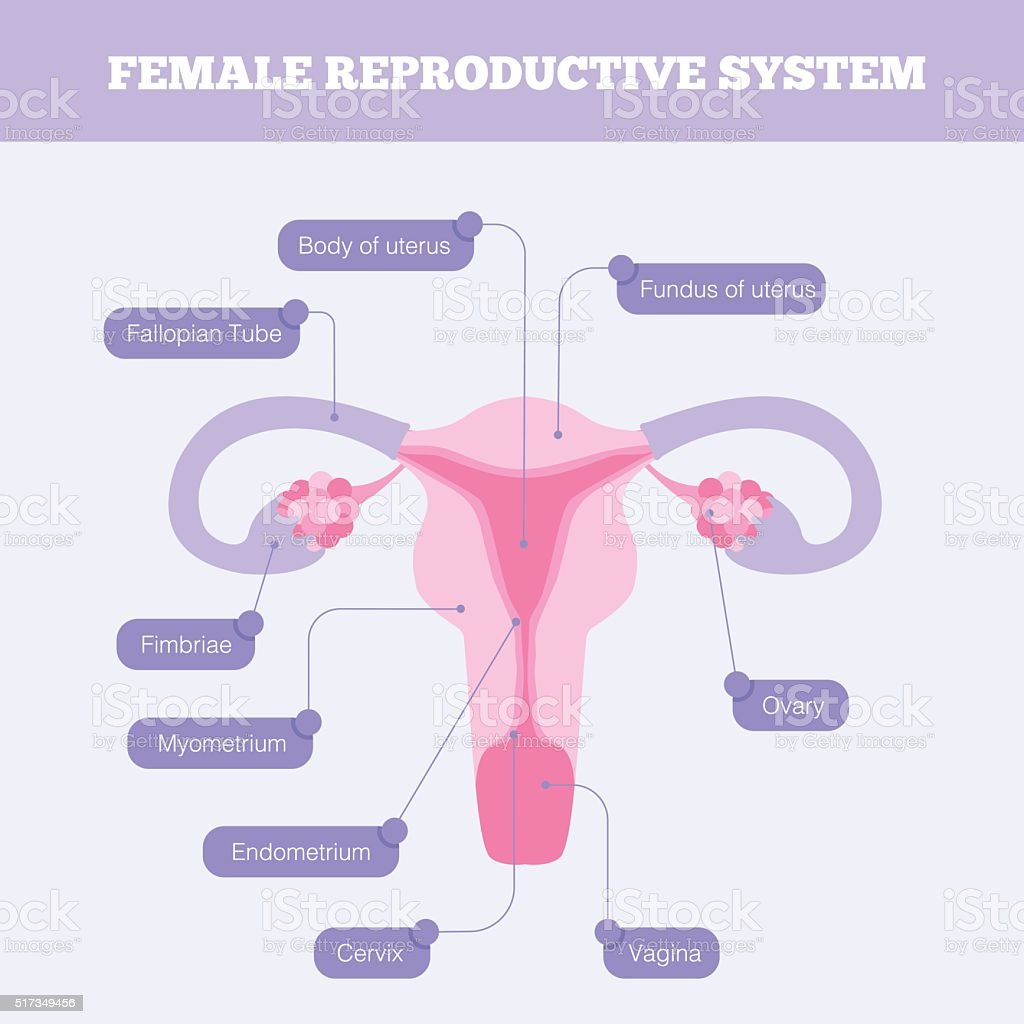 Female reproductive system flat vector infographic vector art illustration