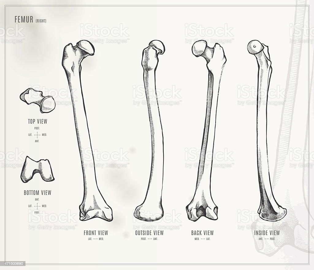 Femur. Medical illustration vector art illustration