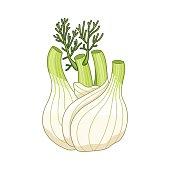 Fennel vector colored botanical illustration