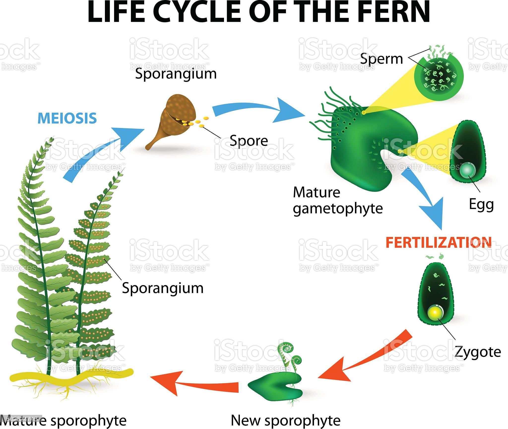 fern life cycle royalty-free stock vector art
