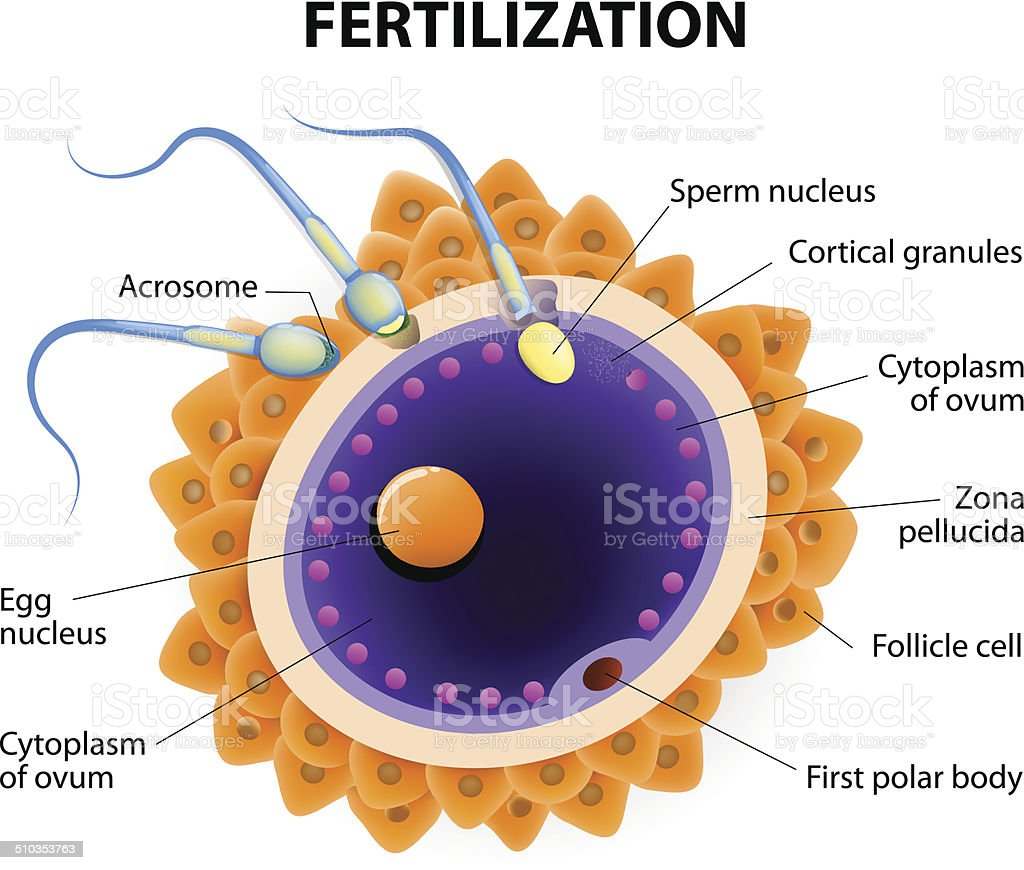 fertilization. Penetration sperm cell of the Egg vector art illustration