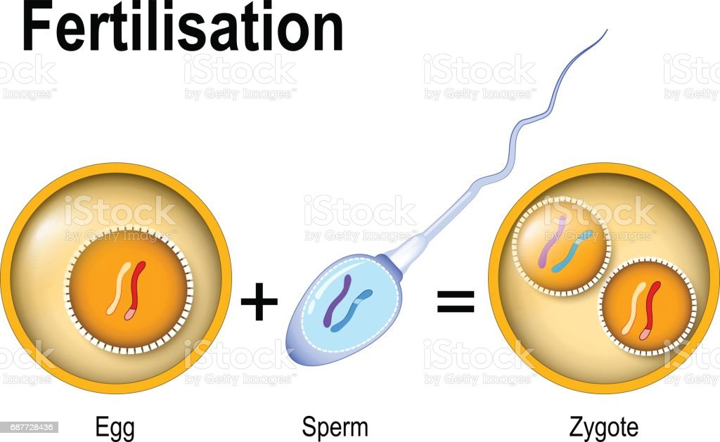 Fertilization Zygote Is Egg Plus Sperm stock vector art ...