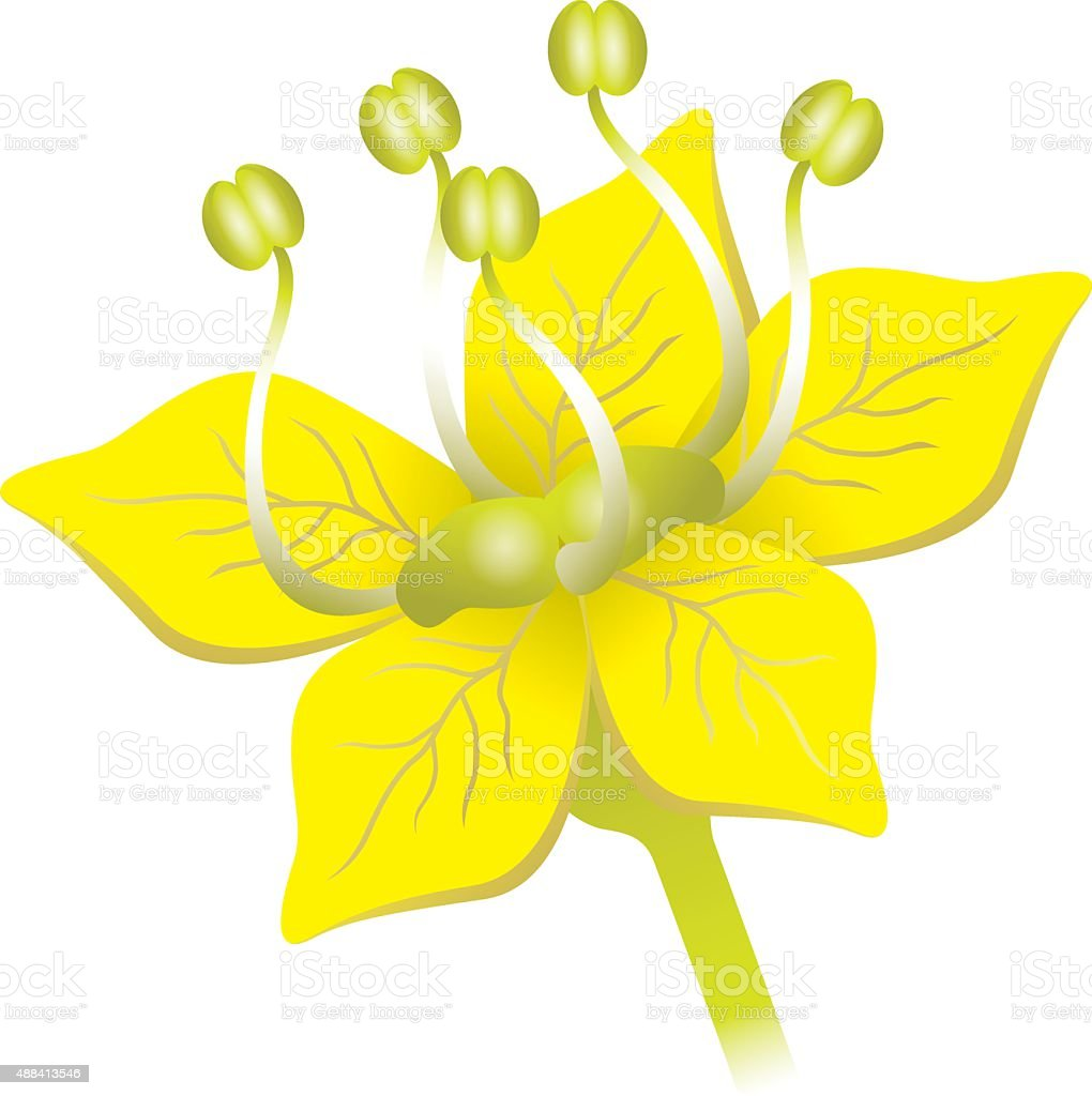 Ferula foetida plant illustration, asafoetida nature vector art illustration