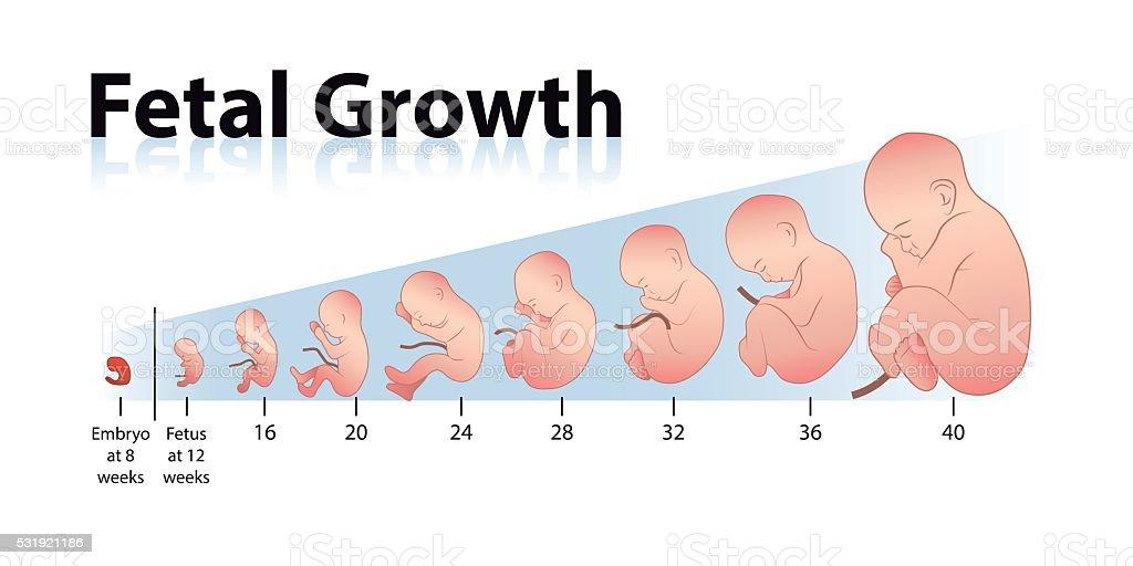 Fetal Growth vector art illustration