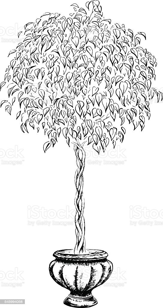 Ficus tree round in a pot drawn in black ink vector art illustration