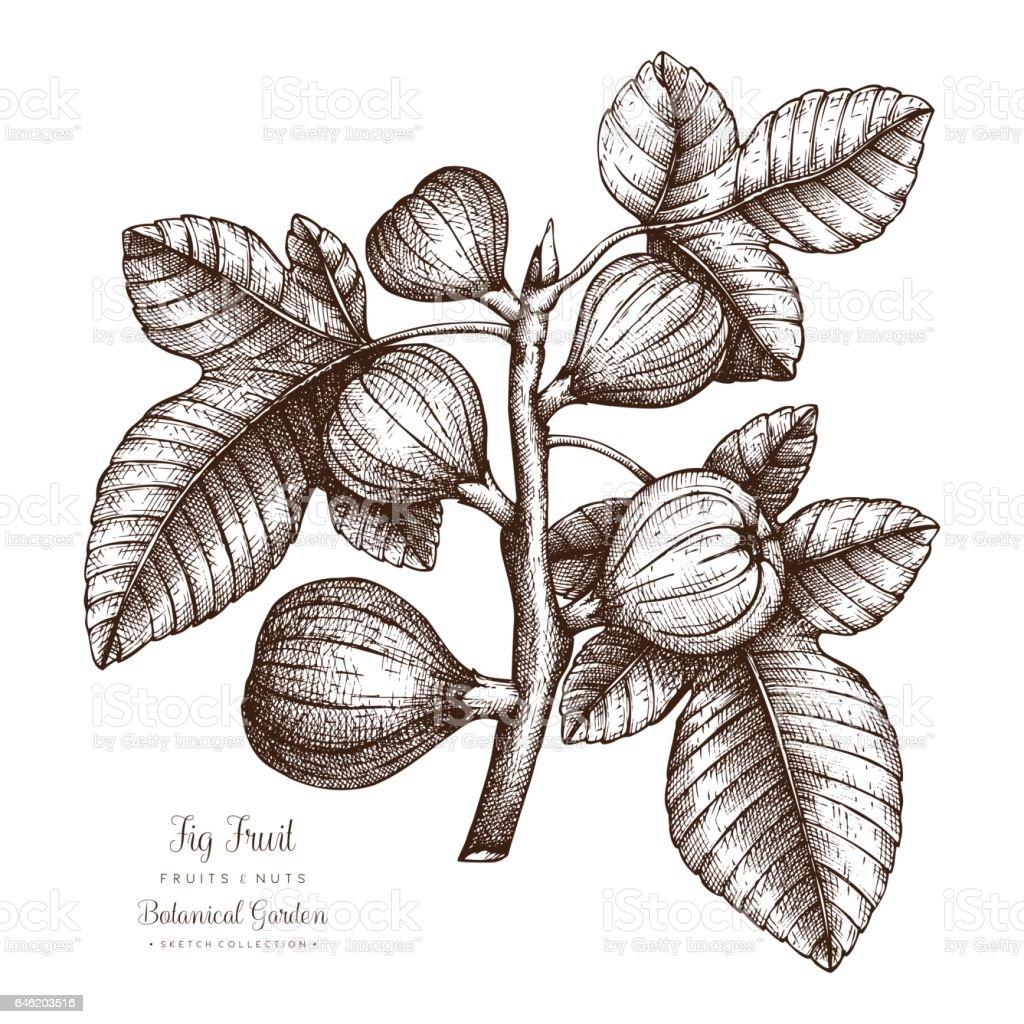 Fig tree illustration vector art illustration