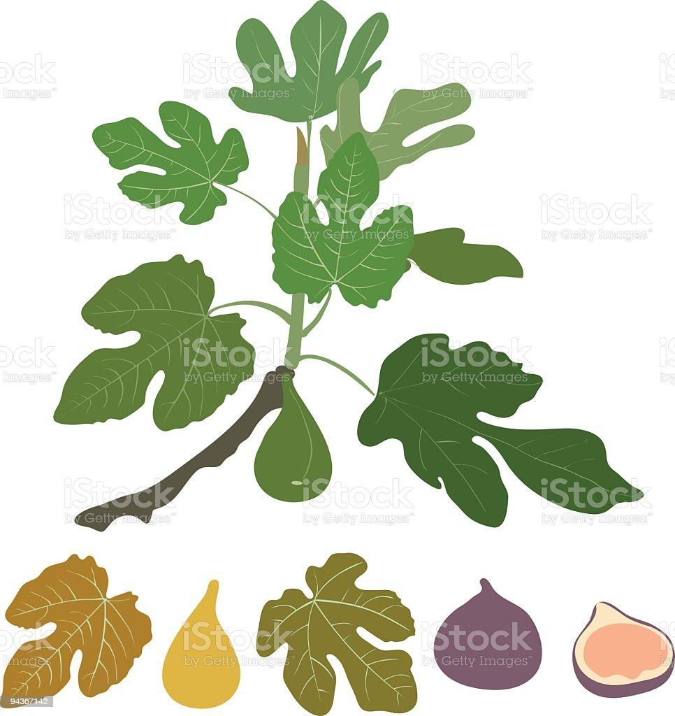 fig vector art illustration