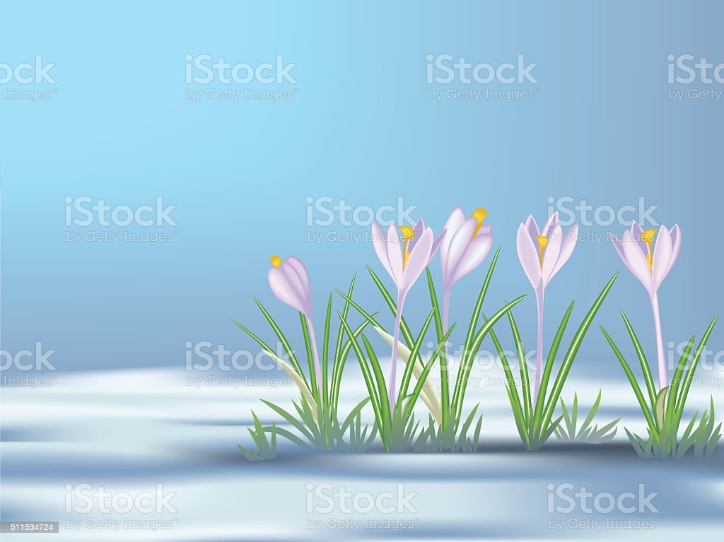 First  spring flowers on thawed patch. Blue - violet crocuses. vector art illustration