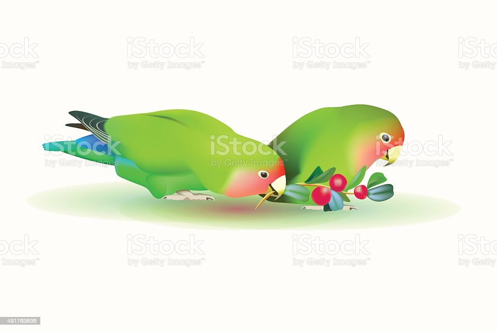 fischer's lovebirds (pair of parrots) vector art illustration