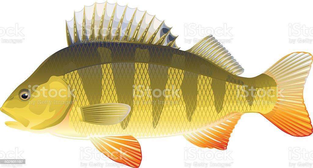 Fish perch royalty-free stock vector art