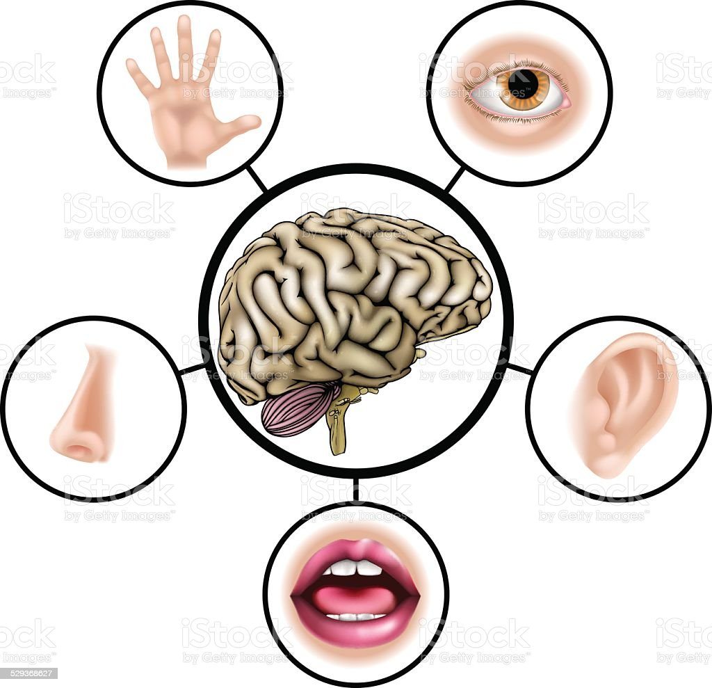 Five senses brain vector art illustration