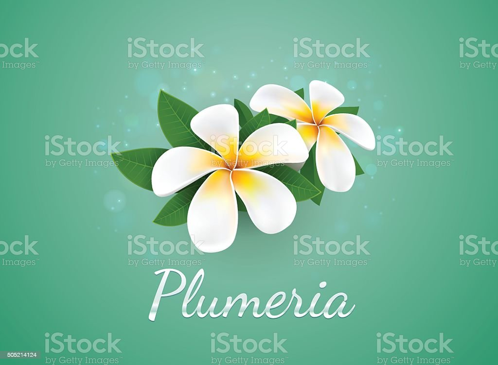 flower Plumeria illustration vector real style vector art illustration