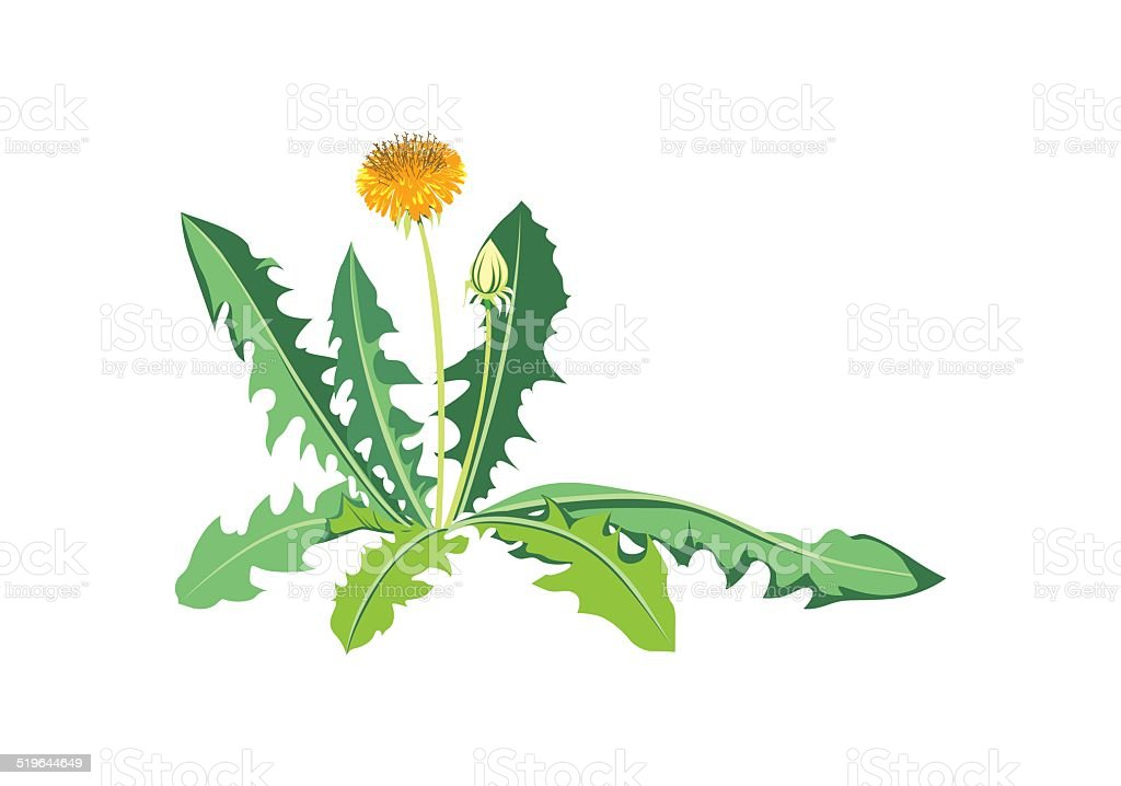 Flowers dandelions with green leaves vector art illustration