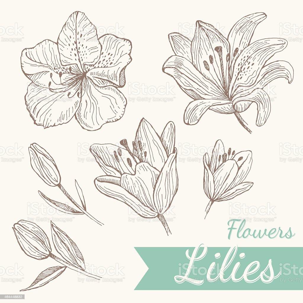 Flowers lily set vector art illustration