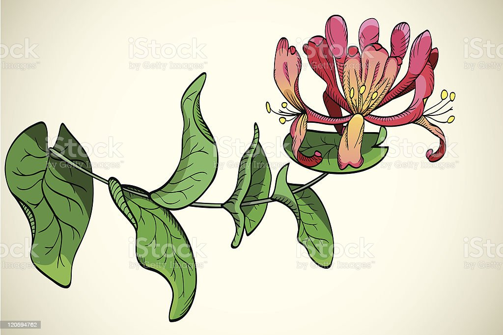 flowers of honeysuckle vector art illustration