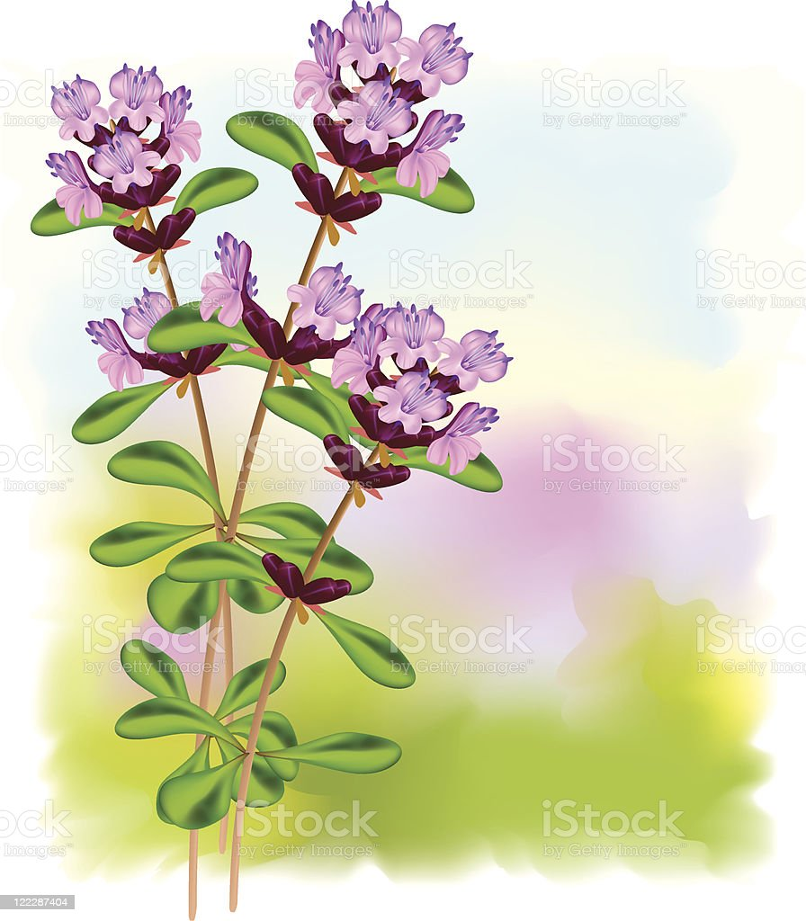 Flowers of thyme. royalty-free stock vector art