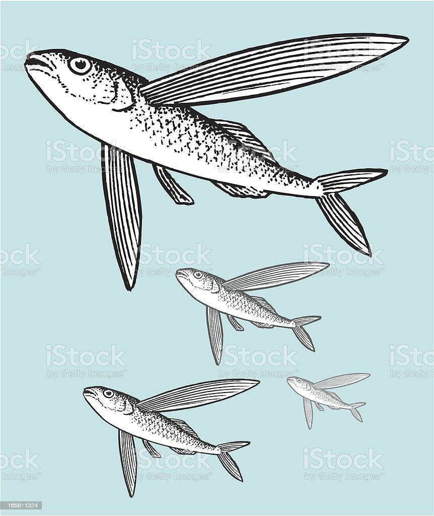 Flying Fish royalty-free stock vector art