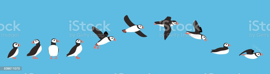 flying sequence of puffin, multiple exposure, vector illustration stock photo