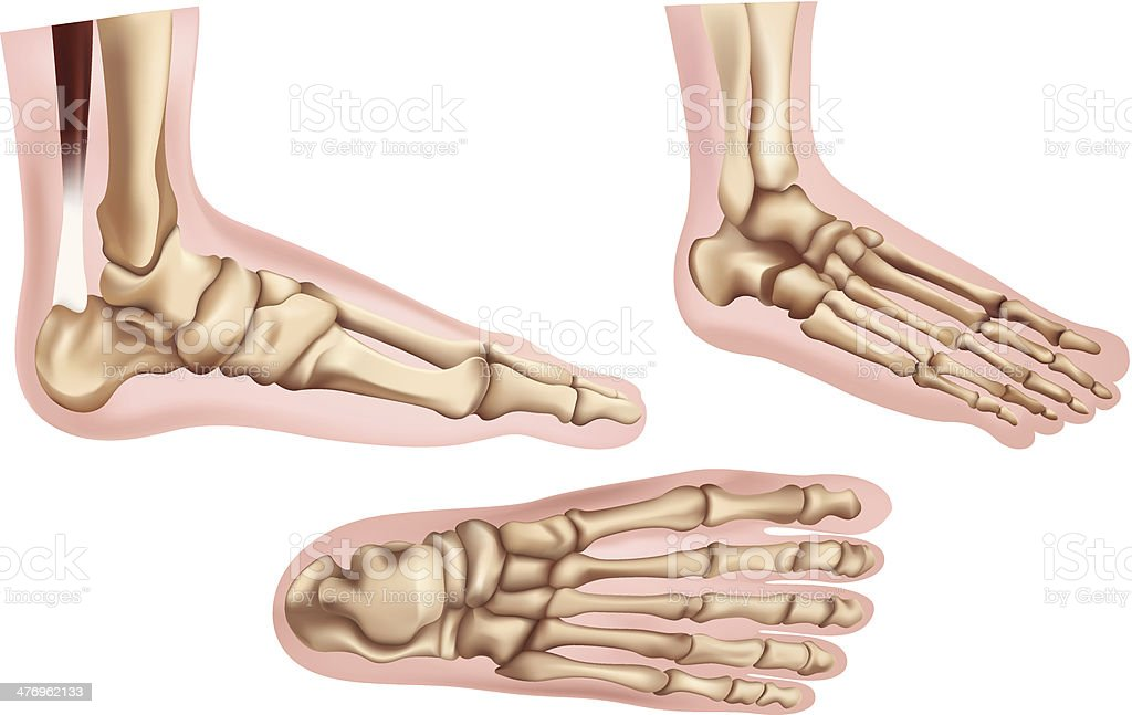 Foot bones vector art illustration